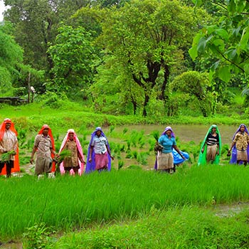Rice Paddy, Monsoon season – Western India