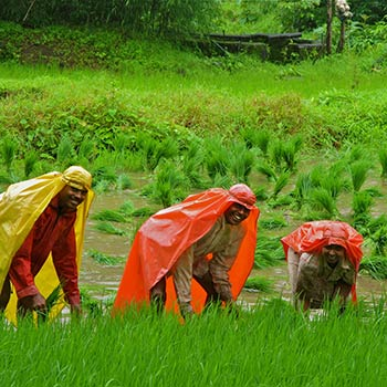 Picking Rice during monsoon – Western India