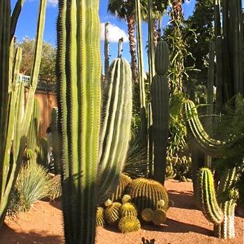 Cacti – Marrakesh, Morroco